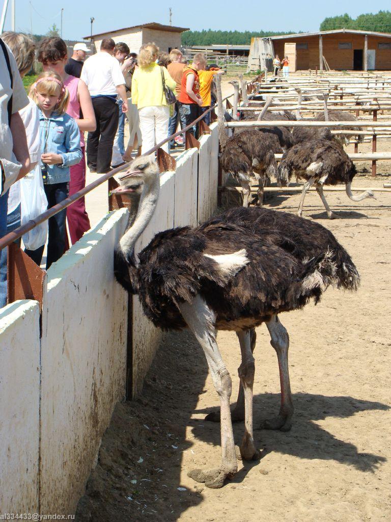 Выращивание страусов в россии 33